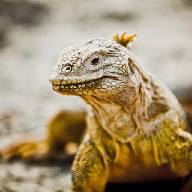 """Galapagos Iguana 2"" stock image"