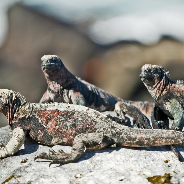 """""""Sunbathing Iguanas"""" stock image"""