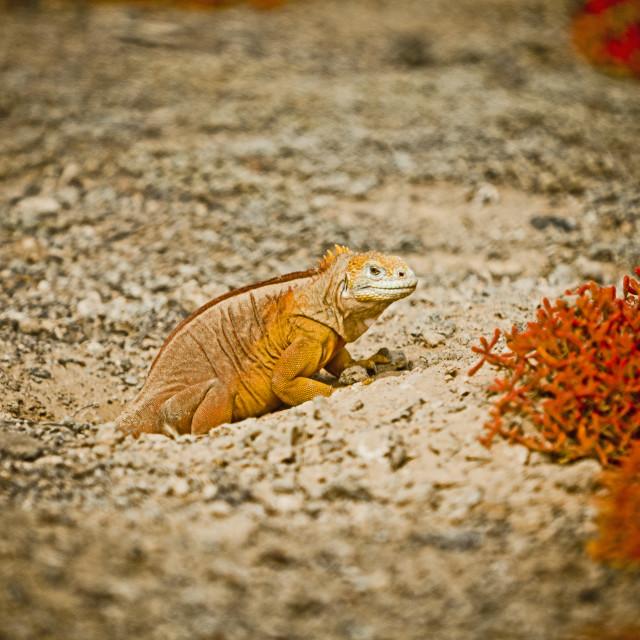 """Galapagos Iguana 3"" stock image"