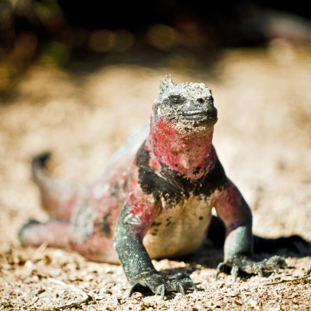 """Iguana getting some sun"" stock image"