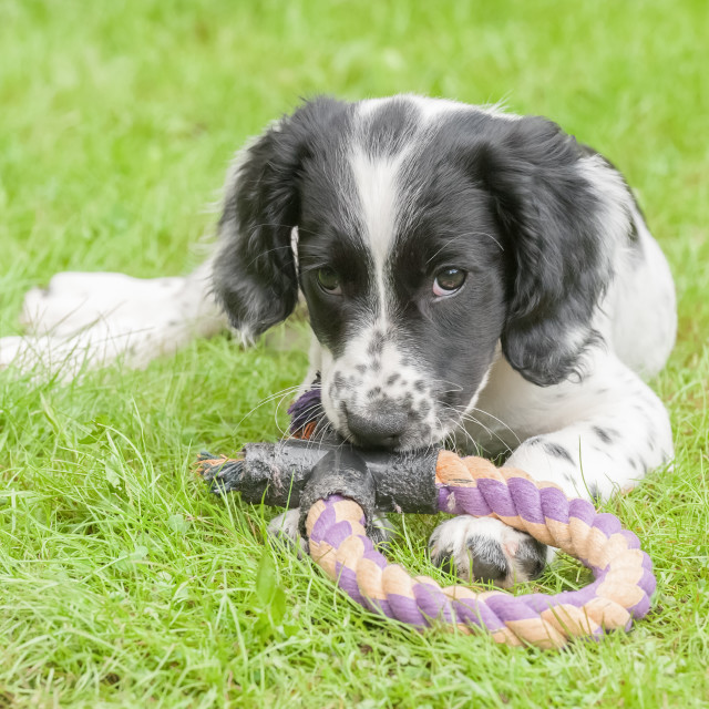 """playful spaniel puppy"" stock image"