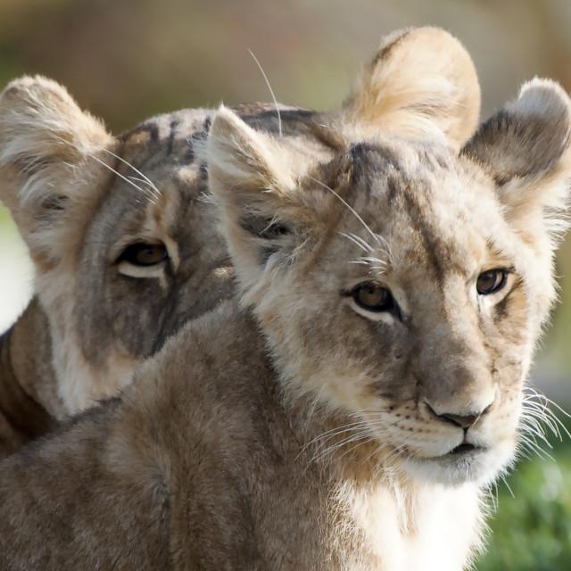 """Lion cub"" stock image"