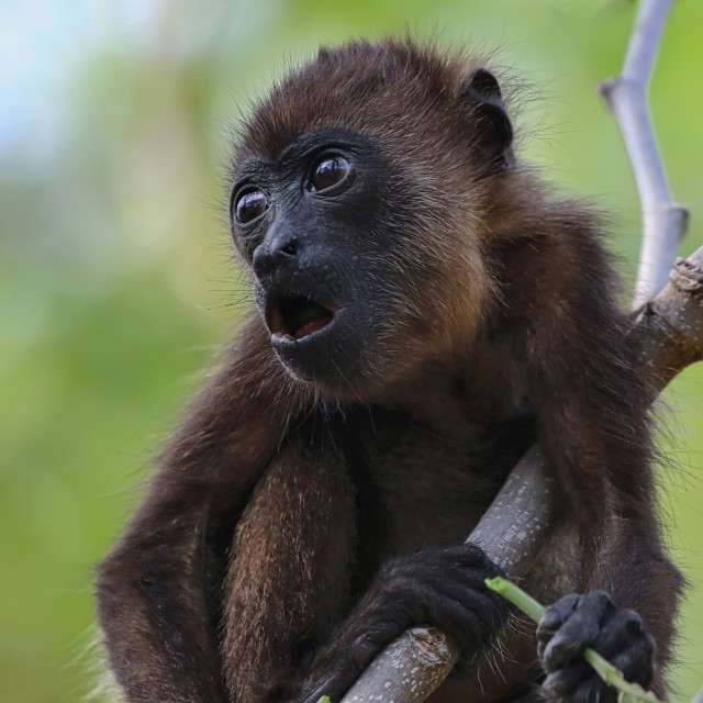 """Howler Monkey of Costa Rica"" stock image"