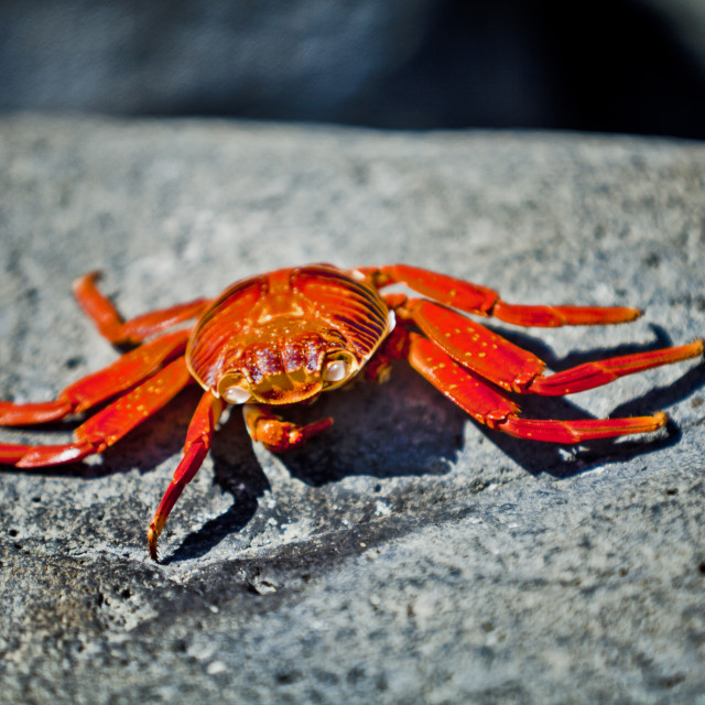 """Sally Lightfoot crab resting"" stock image"