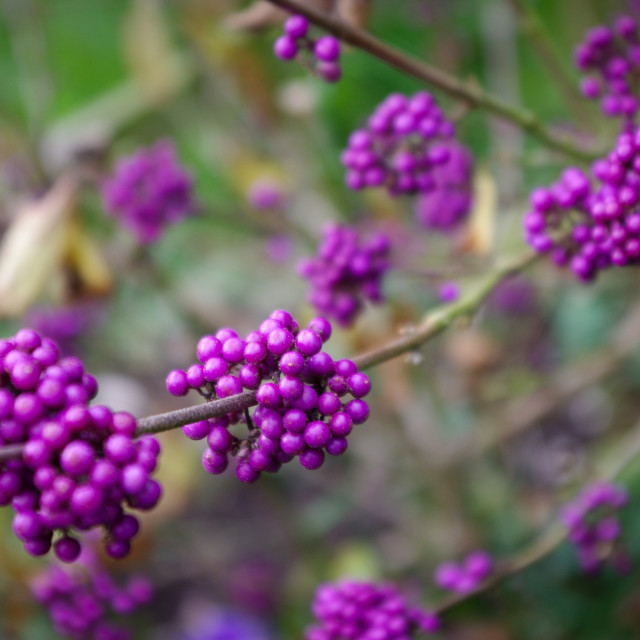 """Callicarpa berries"" stock image"