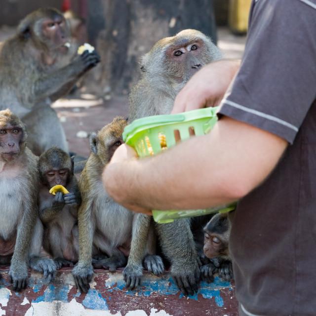 """Tourist Feeding Macaque Monkeys"" stock image"