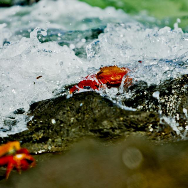 """Waves crashing over Sally Lightfoot crabs"" stock image"