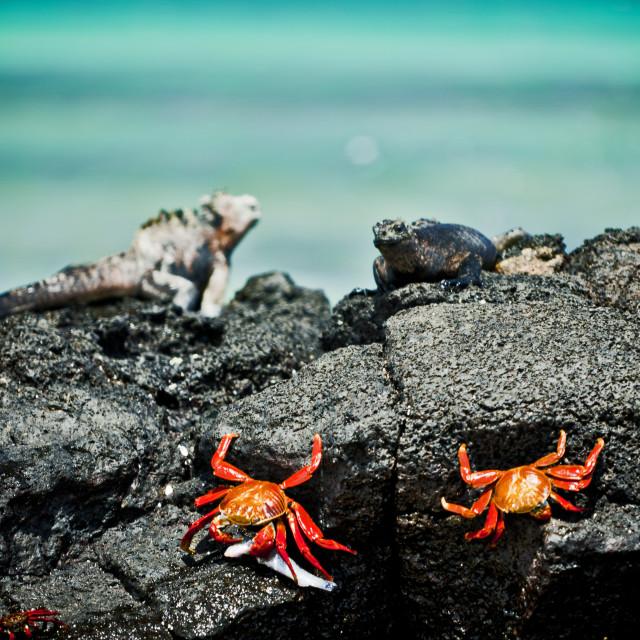"""Crabs and Iguana Meet"" stock image"