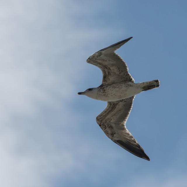"""Seagull."" stock image"