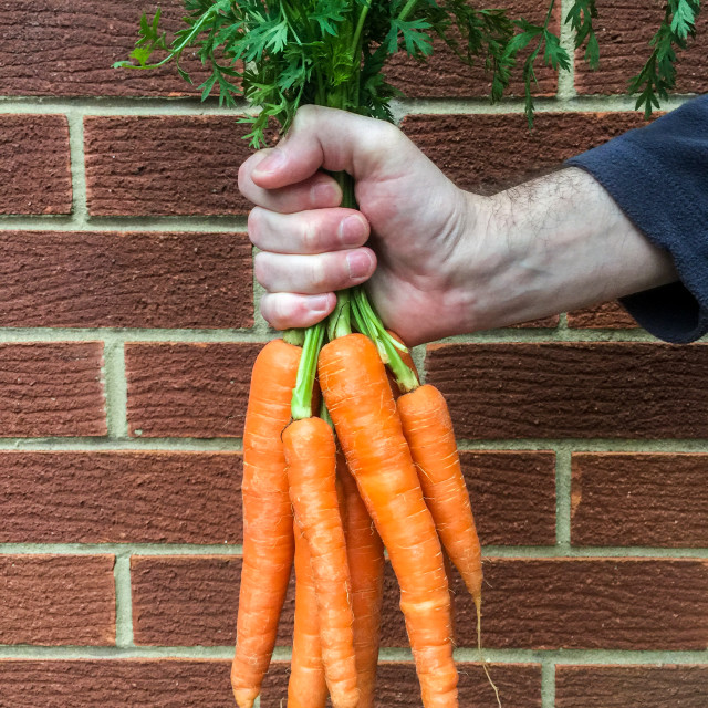 """Hand holding a bunch of carrots"" stock image"