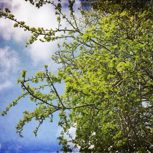 """Green tree against a blue sky"" stock image"