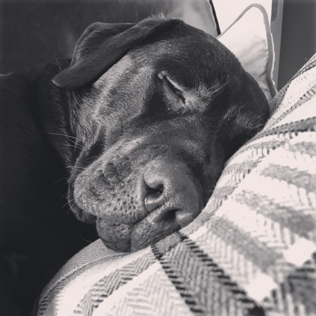 """Monochrome view of a Chocolate Labrador sleeping on the sofa"" stock image"