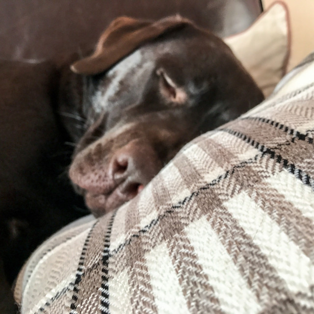 """Chocolate Labrador sleeping on the sofa"" stock image"