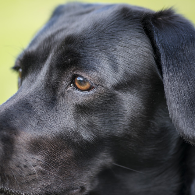 """Closeup view on the head of a Black Labrador"" stock image"