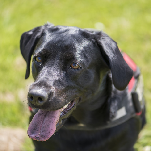"""Closeup view of happy Black Labrador with tongue out"" stock image"
