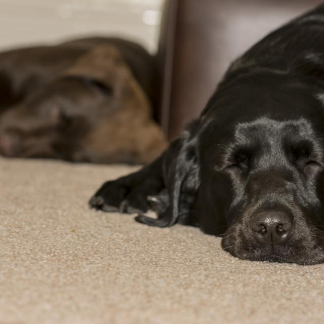 """""""Sleeping Labrador dogs"""" stock image"""
