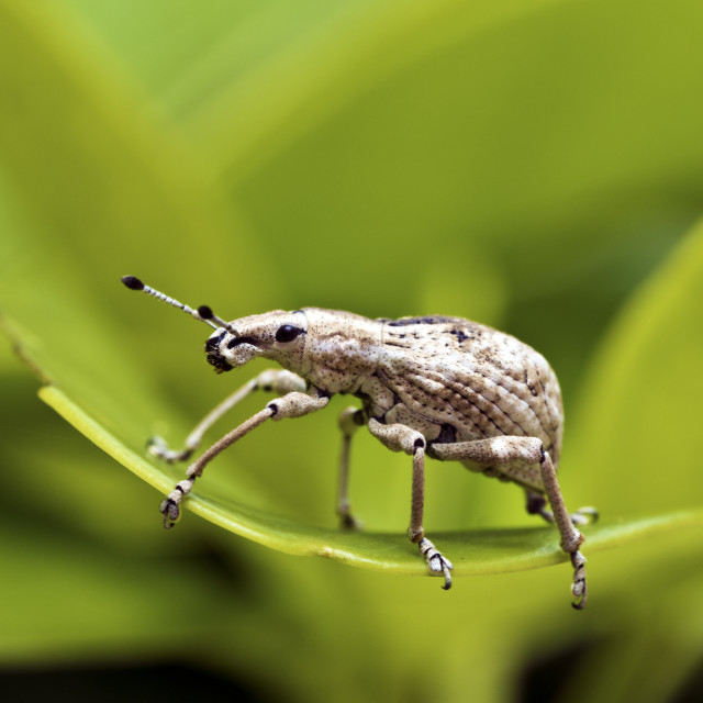 """insect weevil,Curculionidae"" stock image"