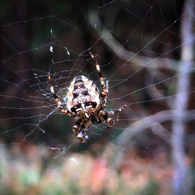 """Forest Spider"" stock image"