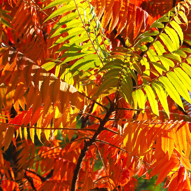 """Japanese Rowan Tree in Autumn Colours"" stock image"