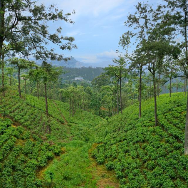 """Sri Lanka Tea Plantations"" stock image"