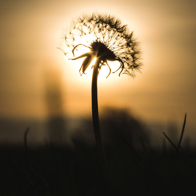 """Dandelion Sunrise"" stock image"