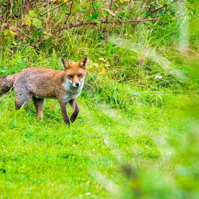 """fox in the grass"" stock image"