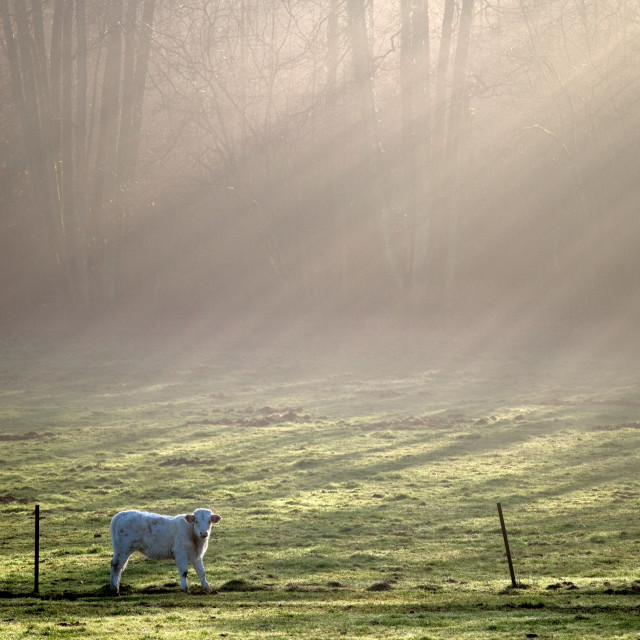 """Cow in sunburst landscape"" stock image"