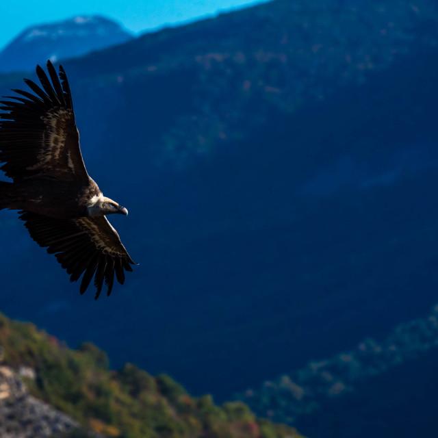 """Griffon vulture in flight"" stock image"
