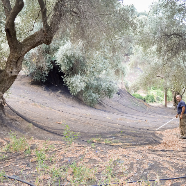 """Cretan farmer who cleans the harvesting nets of olives in the mountains"" stock image"