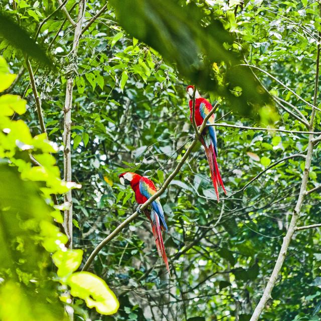 """Macaws"" stock image"