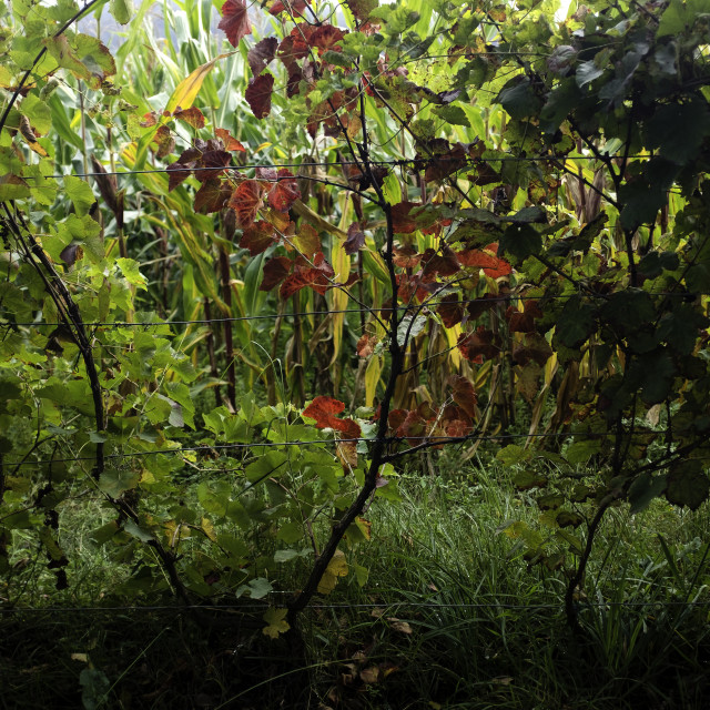 """Autumn Grapevine."" stock image"