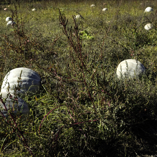 """Pumpkin Field"" stock image"