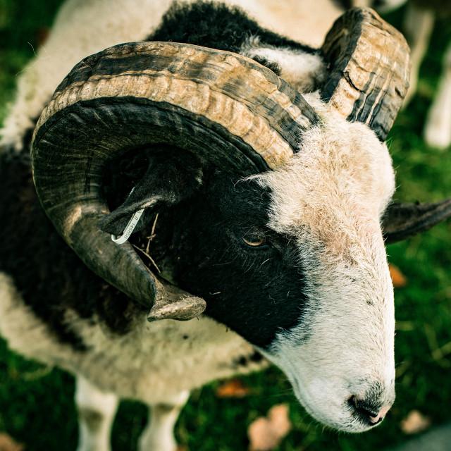 """""""Jacob Sheep"""" stock image"""