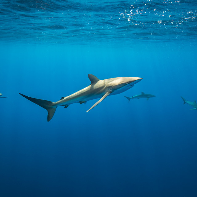 """Silky sharks in the light"" stock image"