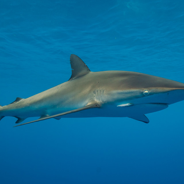 """Silky shark portrait"" stock image"