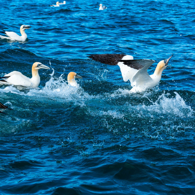 """Gannets fight for fish"" stock image"