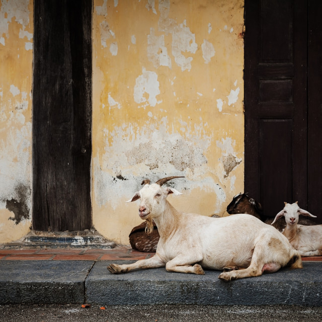 """Goats relax at old house in Hanoi, Vietnam"" stock image"