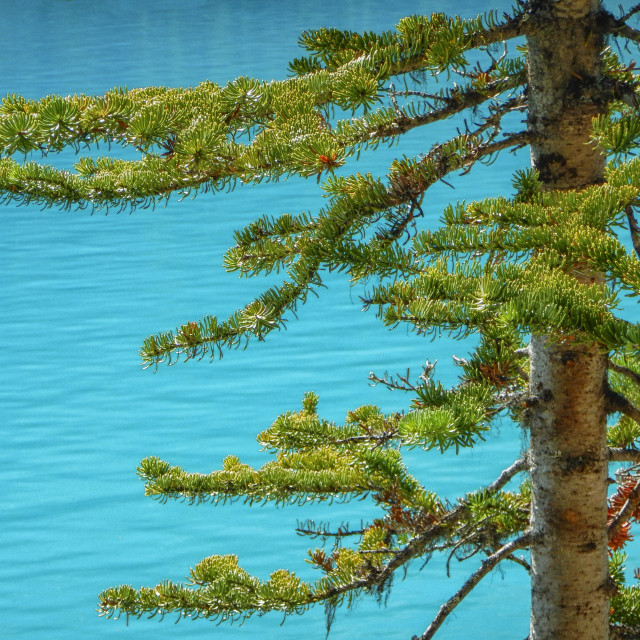 """Pine branches and blue water"" stock image"
