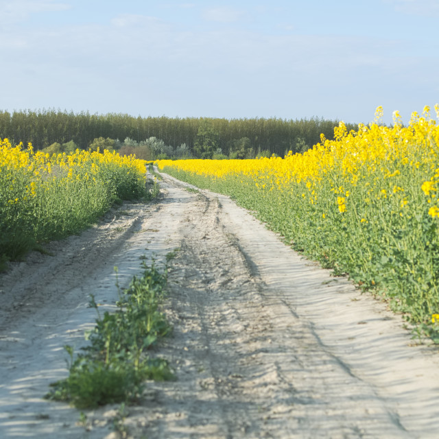 """Dirt Road in the Rape Field"" stock image"