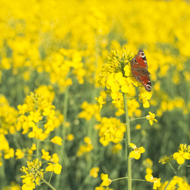 """Butterfly on the Rape Flower"" stock image"