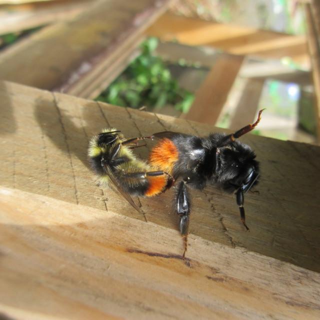 """Mating Queen Bee"" stock image"