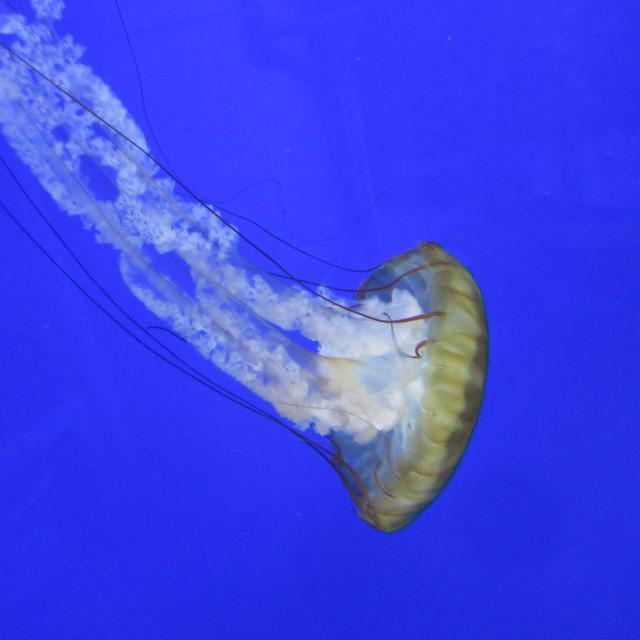 """Jellyfish"" stock image"