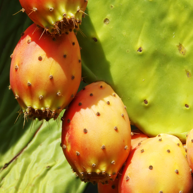 """closeup of Prickly pear cactus fruits"" stock image"