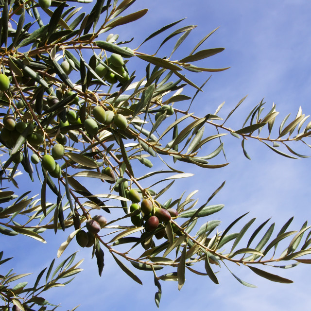 """Olives on branch against blue sky"" stock image"