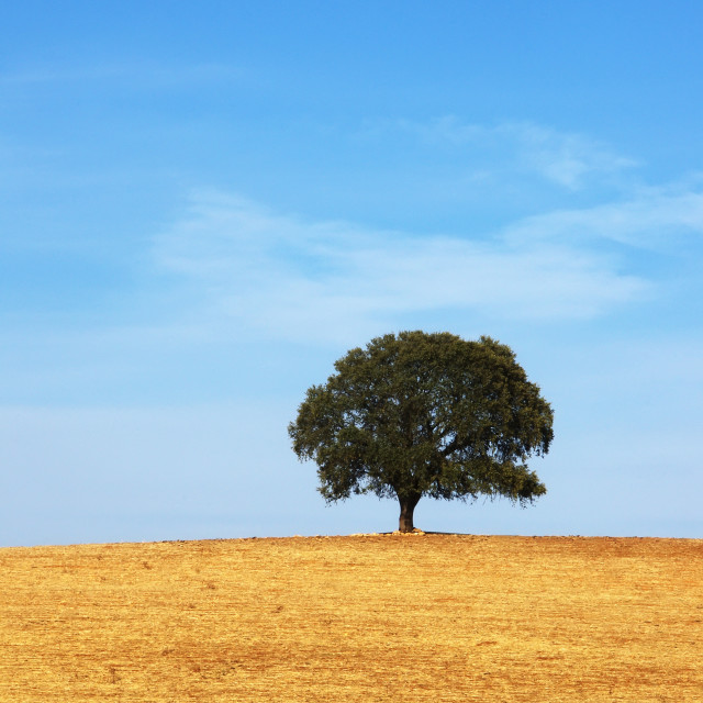 """alone deciduos tree,field at south of Portugal"" stock image"