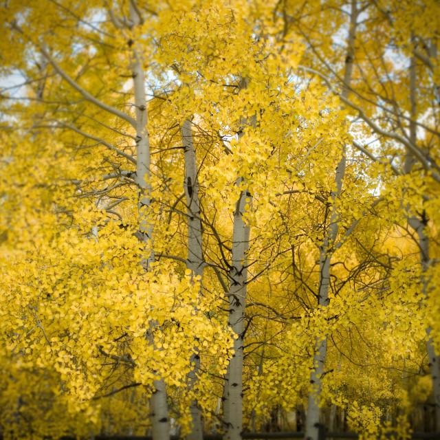 """Aspens, Colorado"" stock image"
