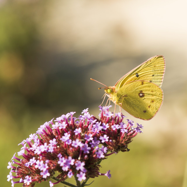 """clouded sulphur, butterfly"" stock image"