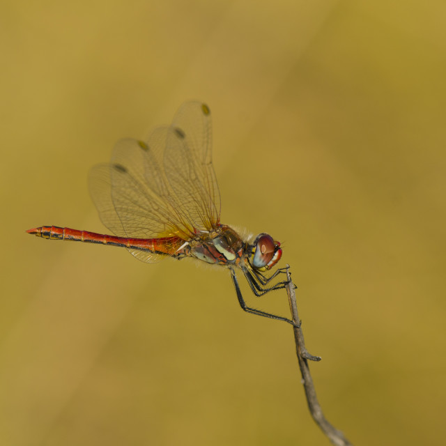 """Male red-veined-darter, sympetrum fonscolombii"" stock image"