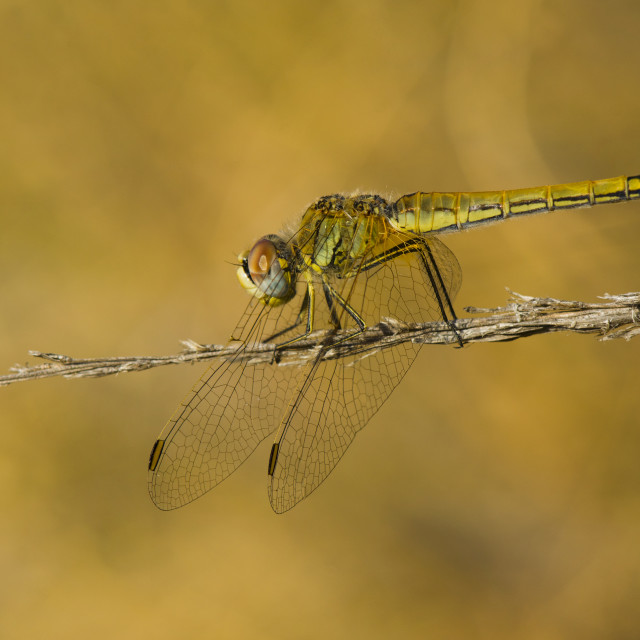 """Female red-veined-darter, sympetrum fonscolombii"" stock image"