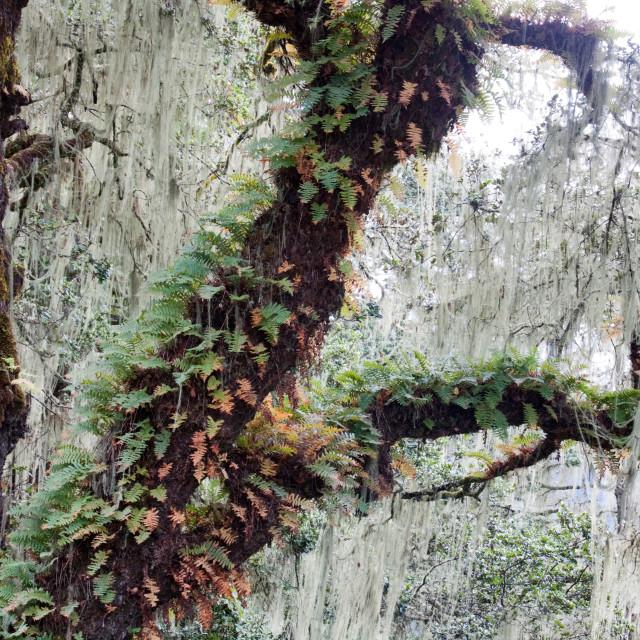 """Moss covered tree, Bhutan"" stock image"